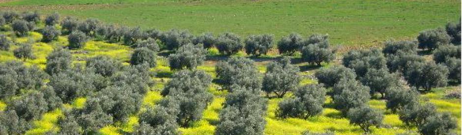 El olivar de albarizas inicio - El olivar de albarizas ...